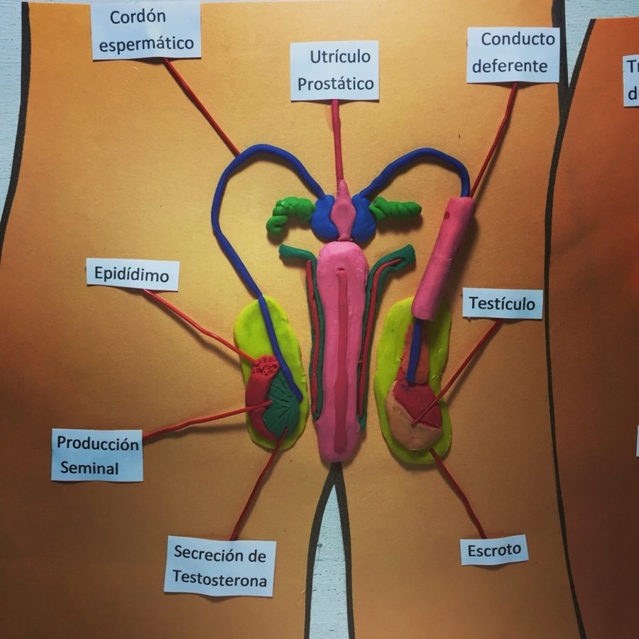 Diagram of Male Reproductive System Project