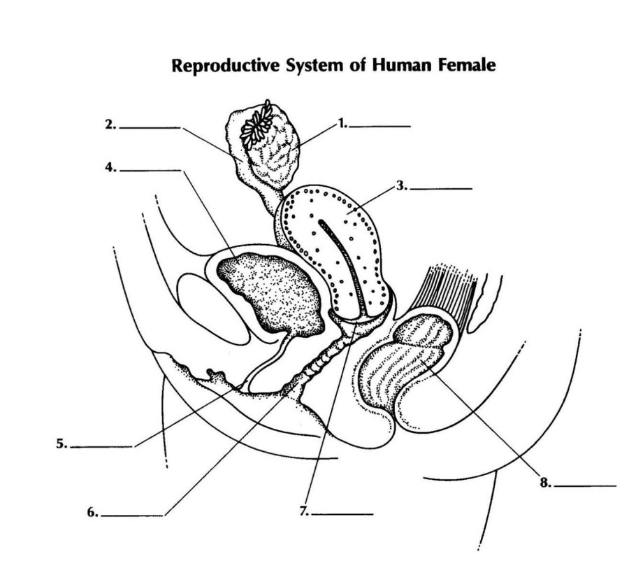 Diagram of Male Reproductive System Unlabeled