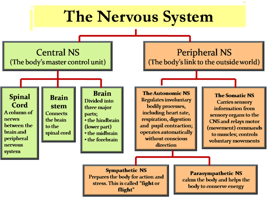 Diagram of Nervous System Functions