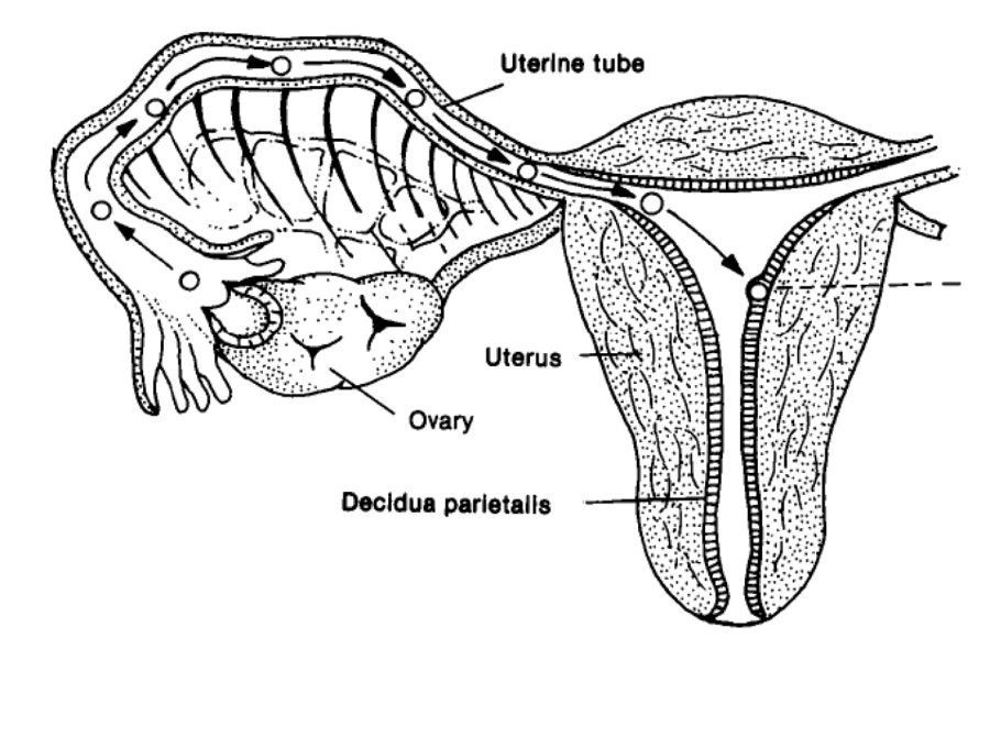 Diagram of The Female Reproductive System Ovum