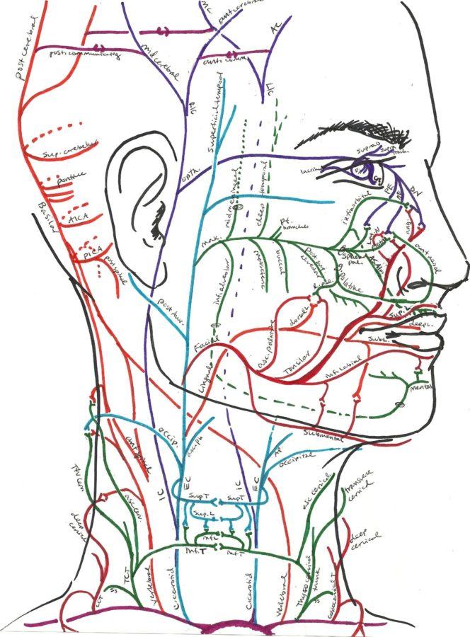 Head Artery Diagram