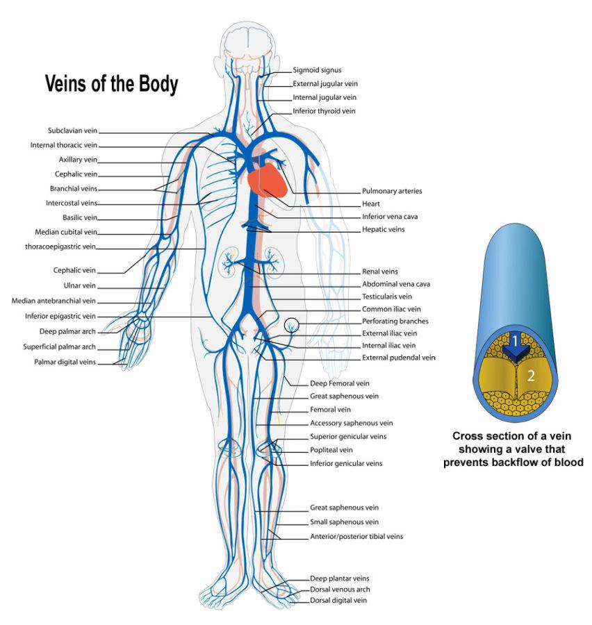 Healthy Artery Diagram