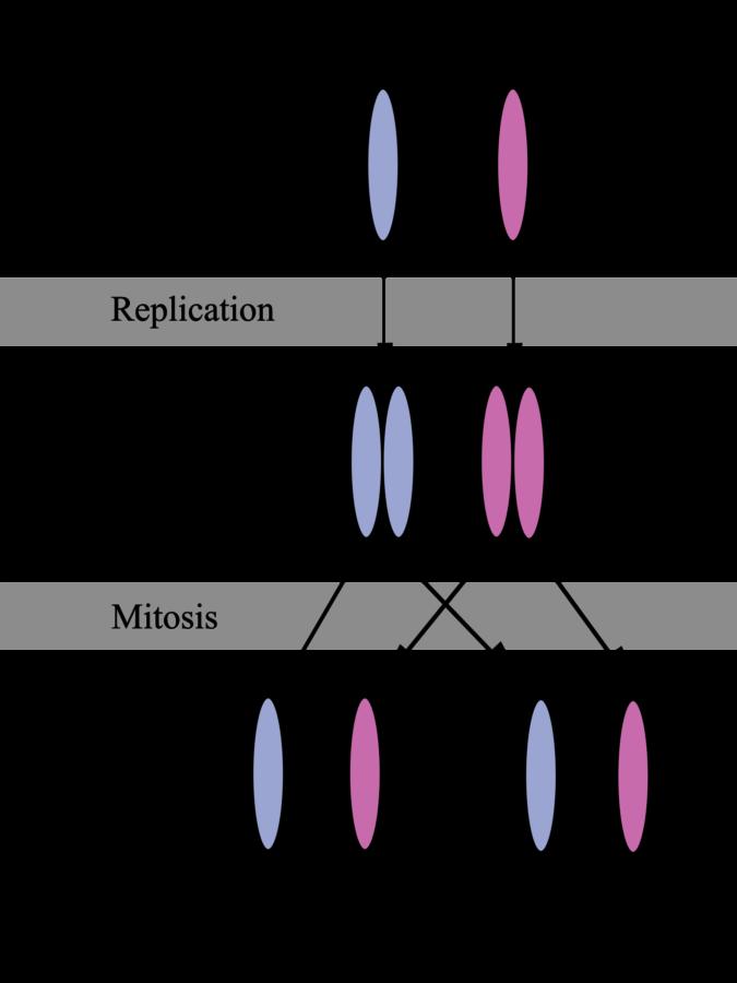 Homologous Chromosome Diagram