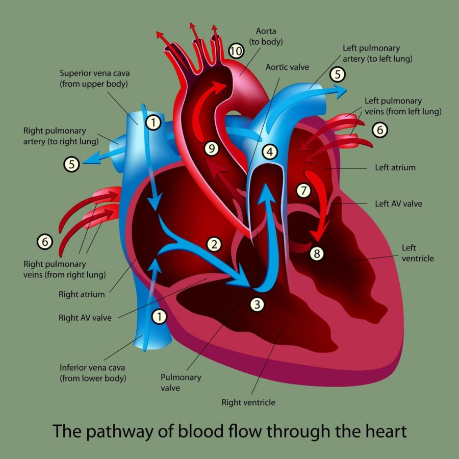 Route of Blood Flow through the Heart Diagram