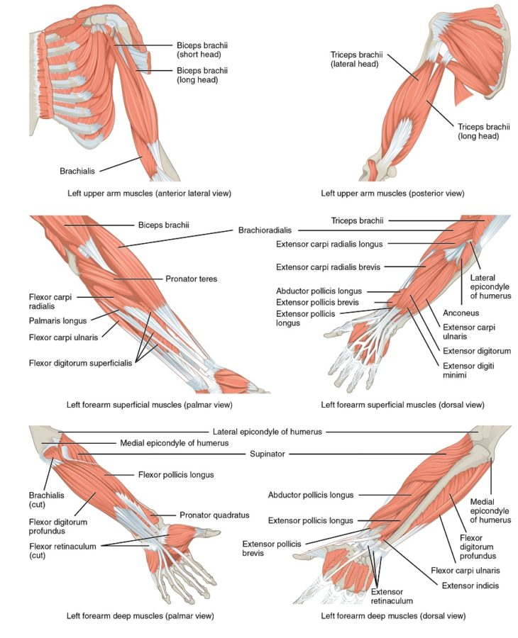Shoulder and Arm Muscles Diagram