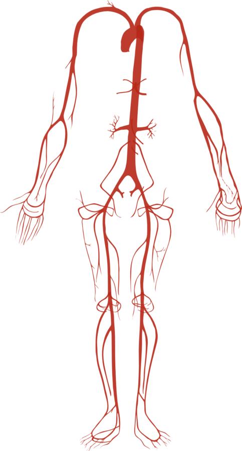 Simple Artery Diagram