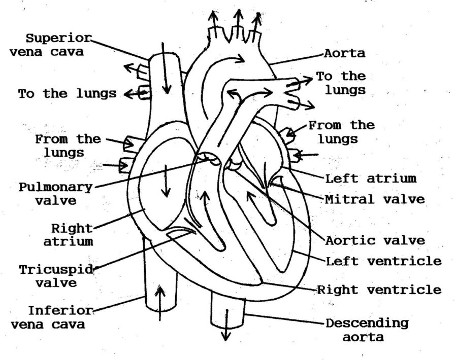 The Direction of Blood Flow through Heart Diagram
