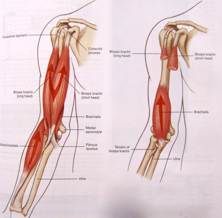 Upper Arm Muscles Diagram