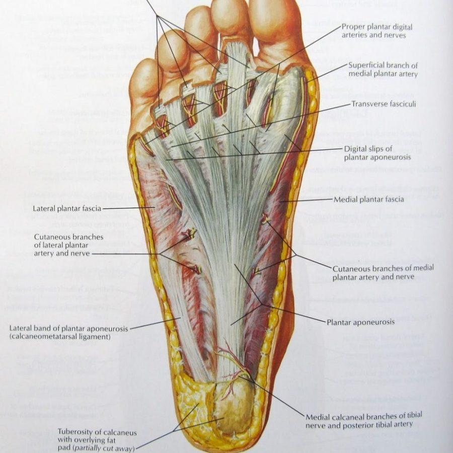 Anatomical Diagram of Foot