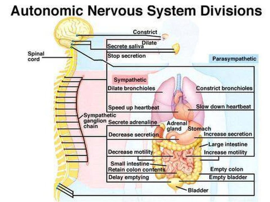 Autonomic Diagram of nervous system