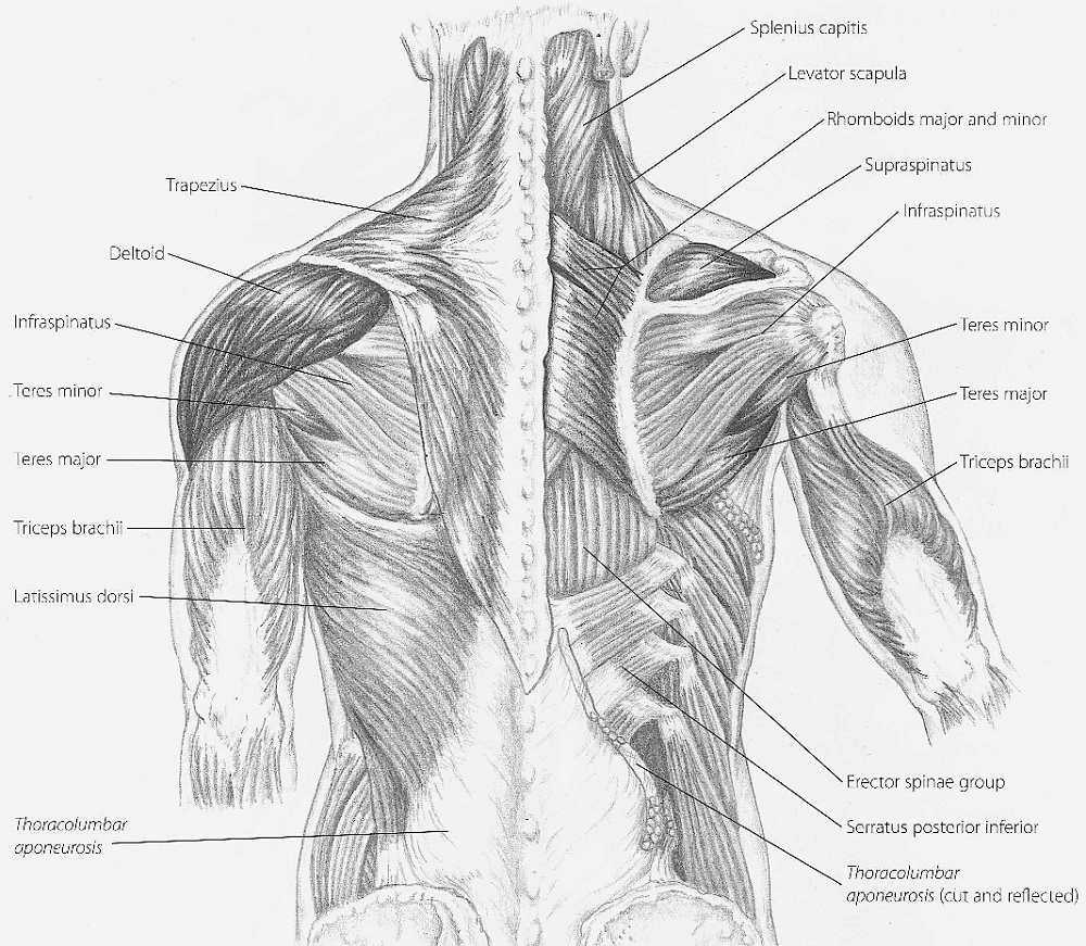 Shoulder Muscles Diagrams