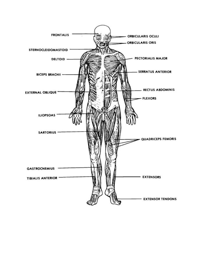 Basic diagram of the muscular system