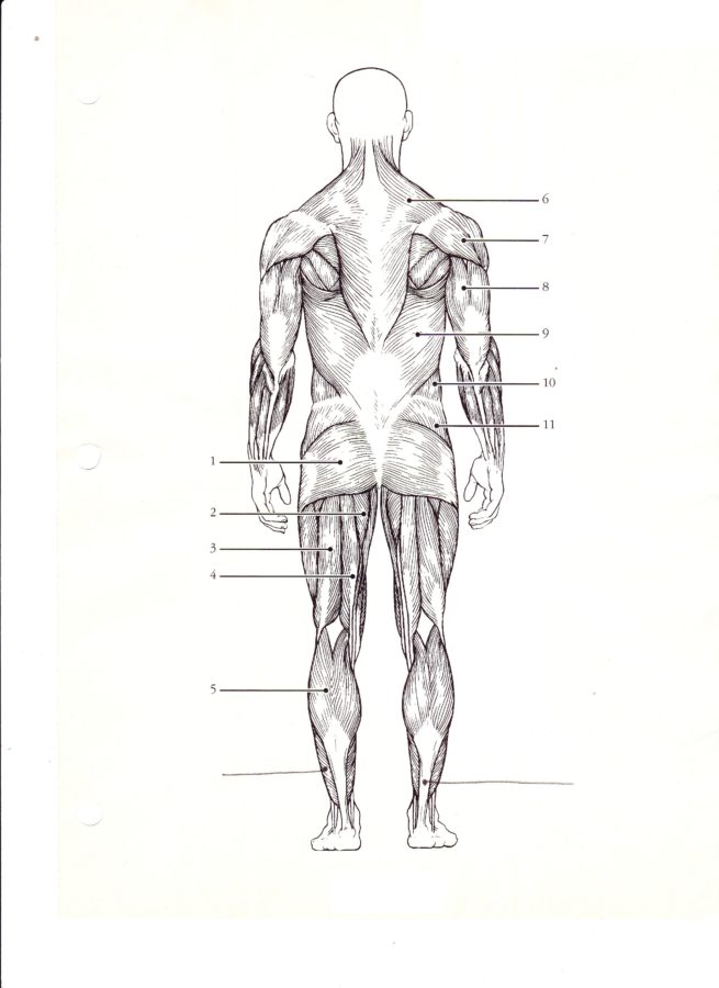 Blank diagram of the muscular system