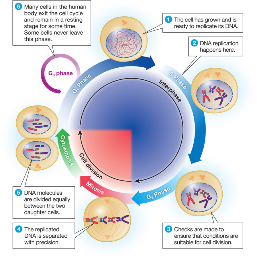 Cell Cycle Diagram with Answers