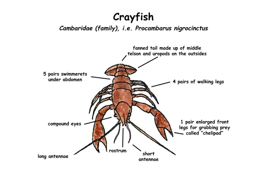 Crayfish Diagram with Color