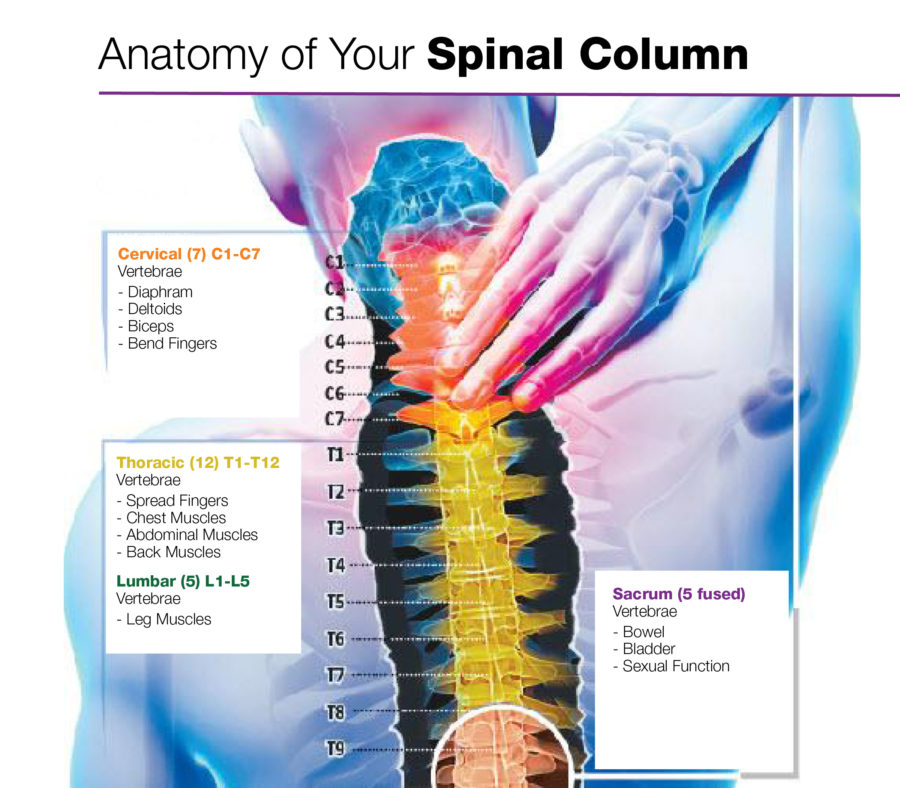 Diagram of Back Muscles Spinal Column