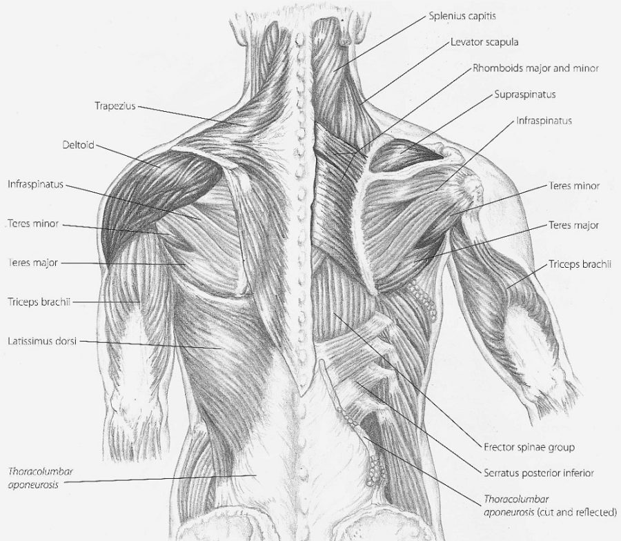 Diagram of Back Muscles in humans