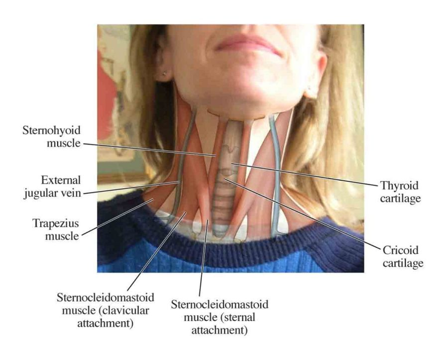 Diagram of Back Muscles of Neck