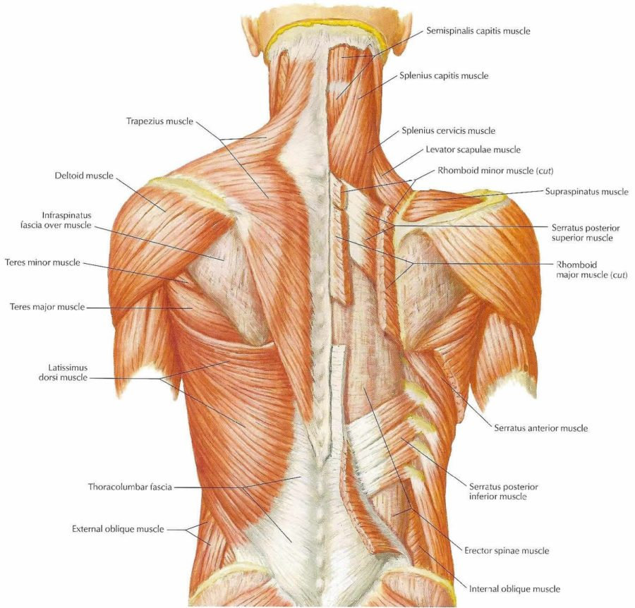 Diagram of Back Muscles pain