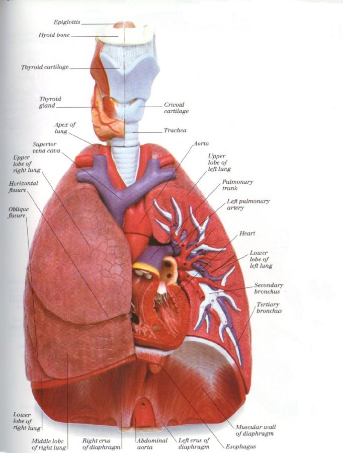 Diagram of Lung Sections