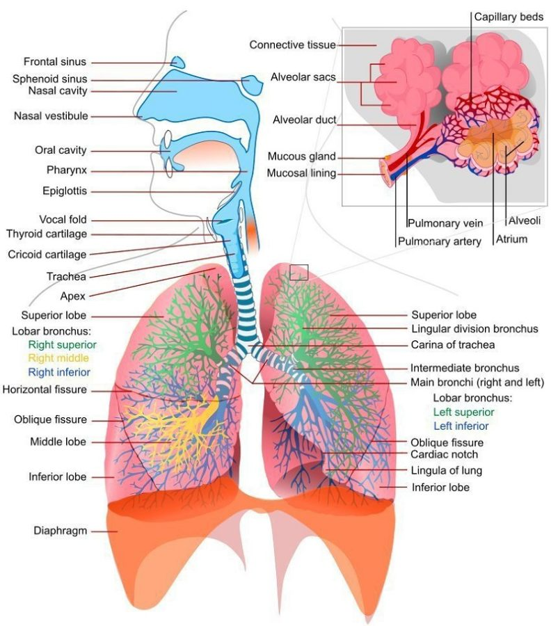 Diagram of Lungs Respiratory System