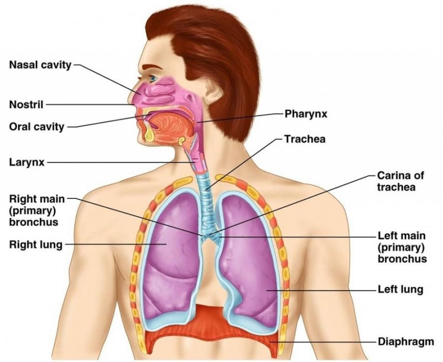 Diagram of Lungs in Body