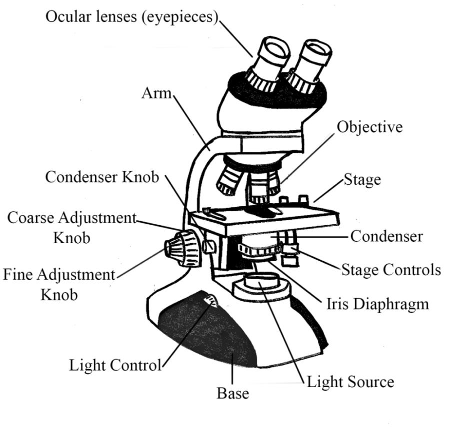Diagram of Microscope Brightfield