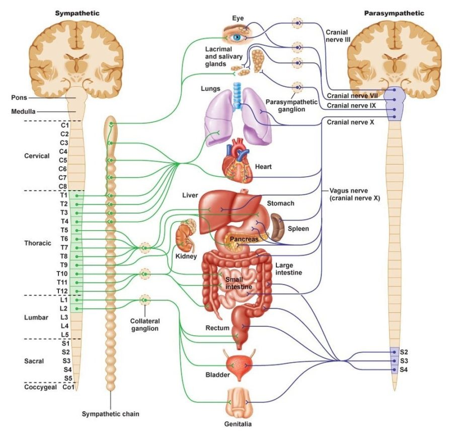 Diagram of nervous system Labeled