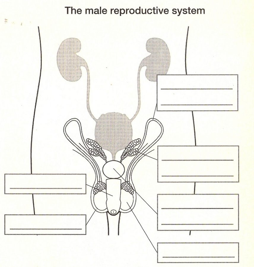 Diagram of the Male Reproductive System Questions