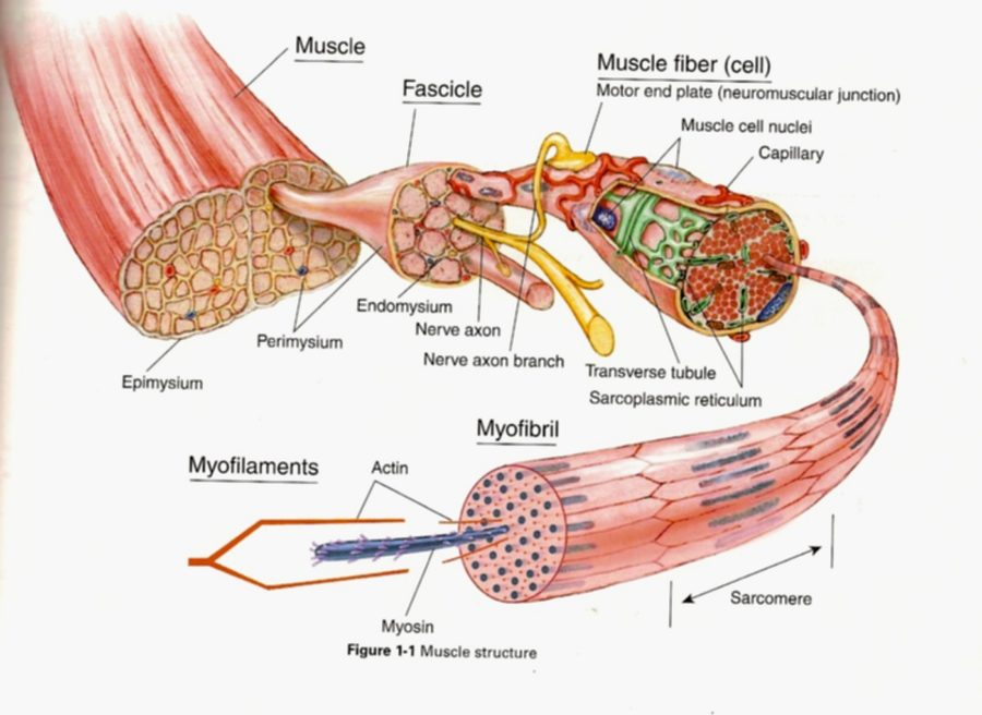 Diagram of the muscular system to label