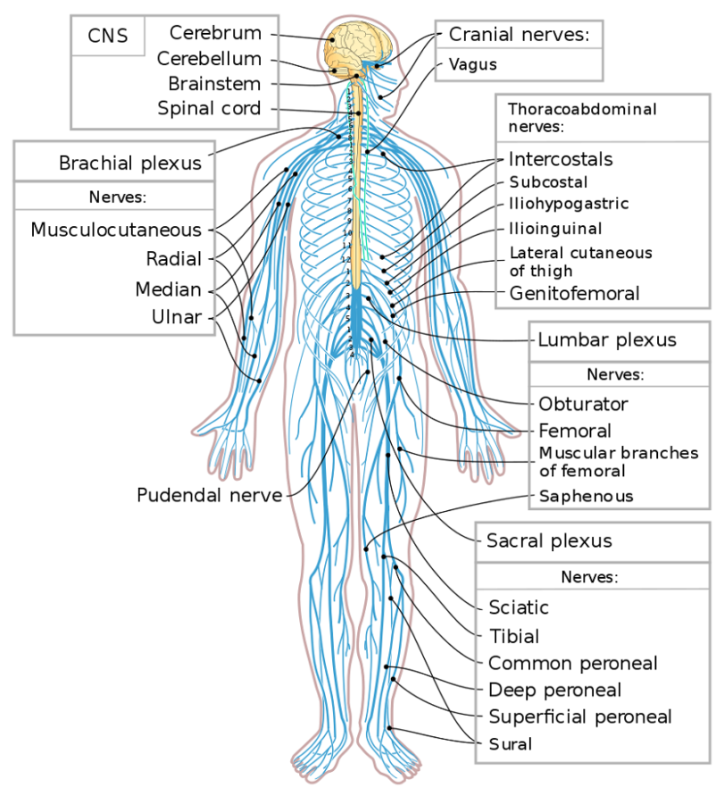 Human Diagram of nervous system
