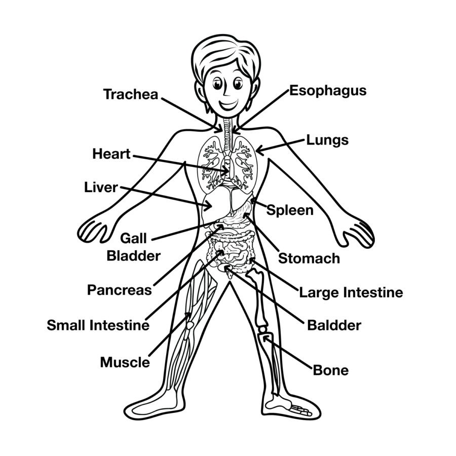 Human Organ Diagram For Kids