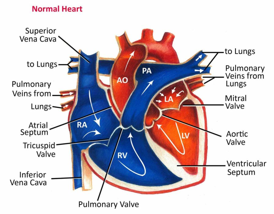 Labeled Heart Blood Flow Diagram