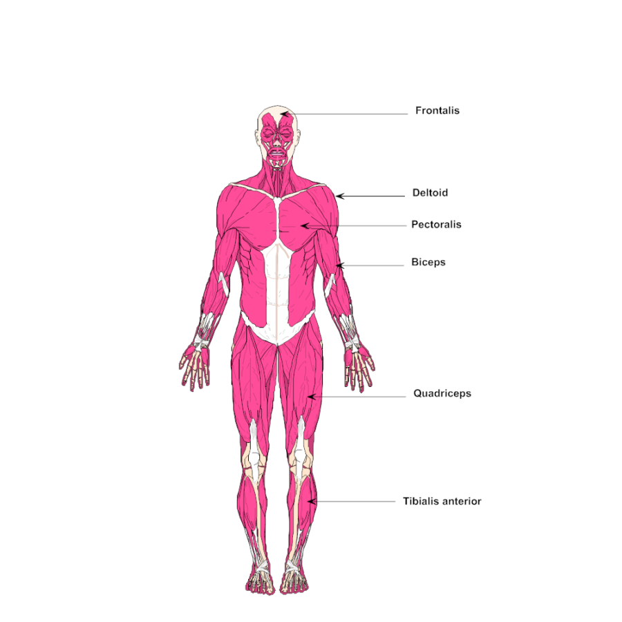 Labeled diagram of the muscular system
