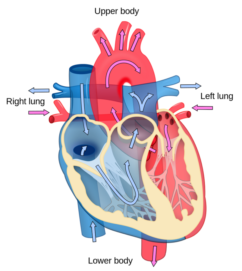 Large Labeled Diagram of the Heart