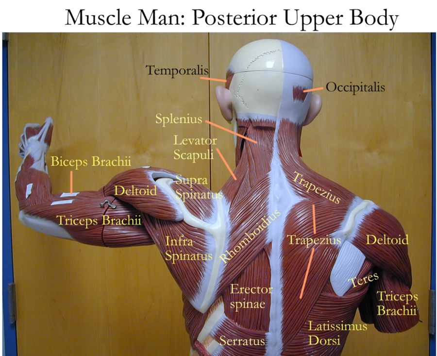 Lumbar Diagram of Back Muscles