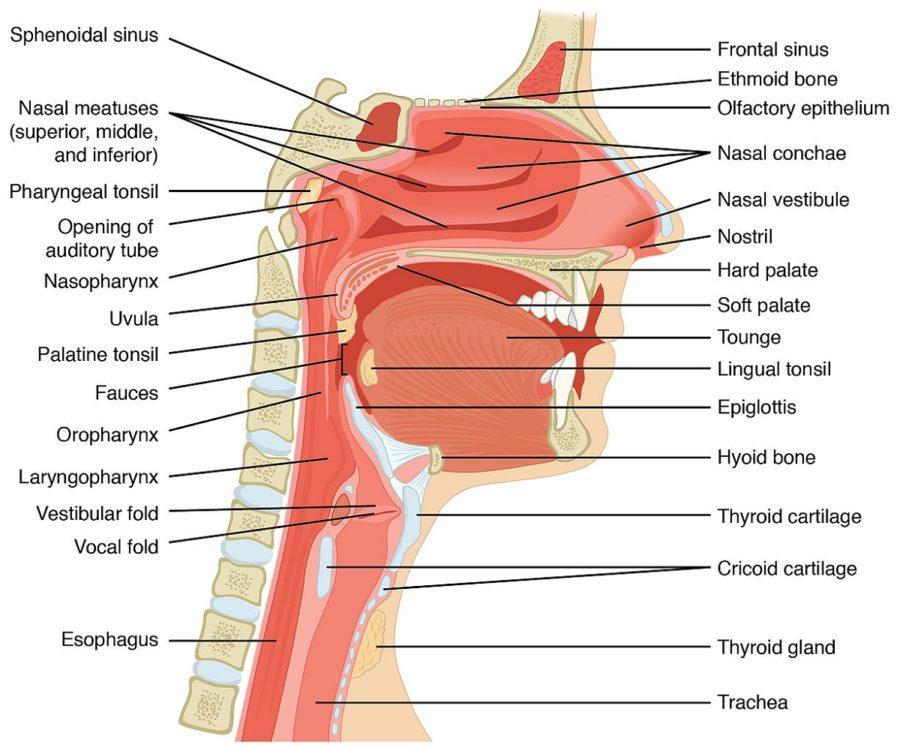 Nose and Throat Diagram