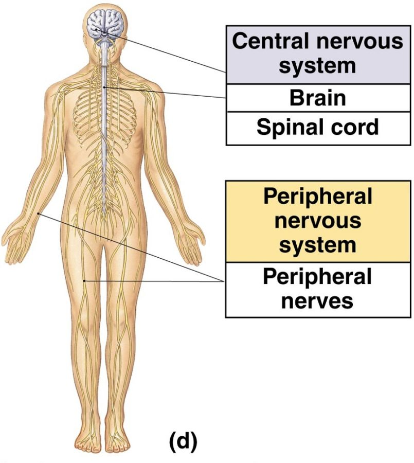 Peripheral Diagram of nervous system