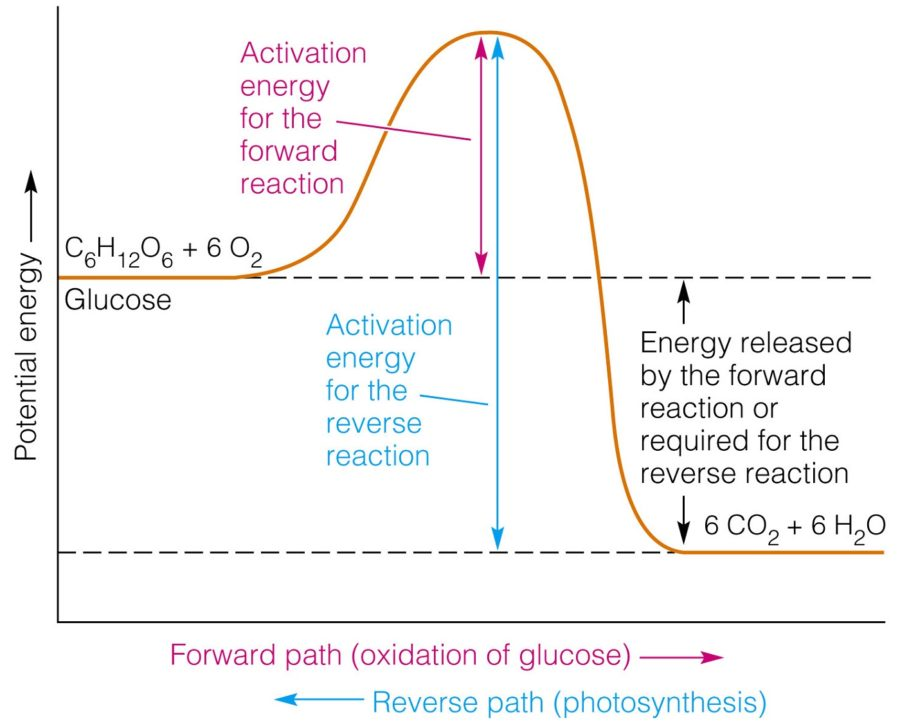 Potential Energy Diagram Exothermic
