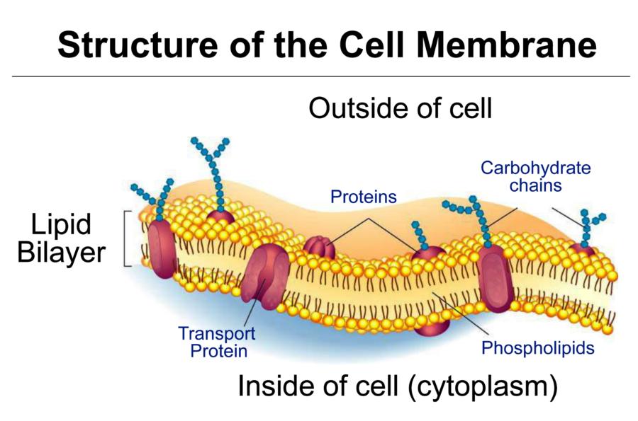 Simple Cell Membrane Diagram