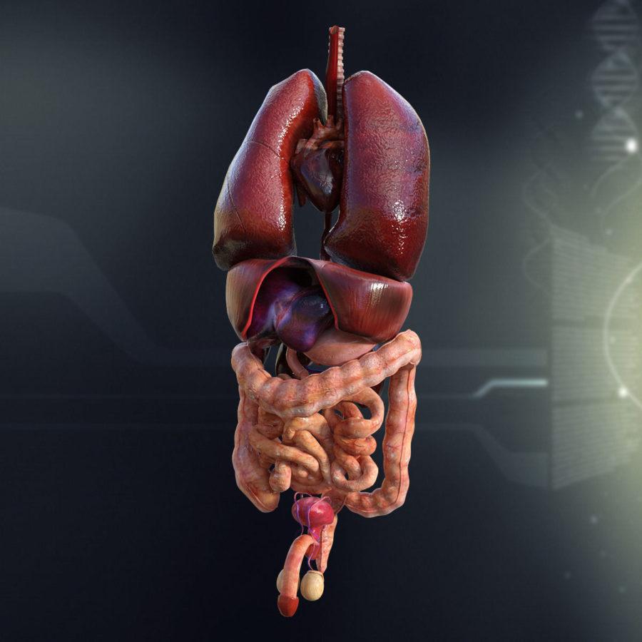 3D Model Diagram of Human Organs