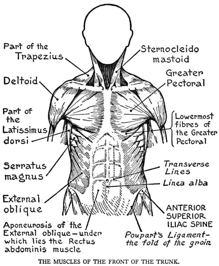 Black and White Muscular System Diagram