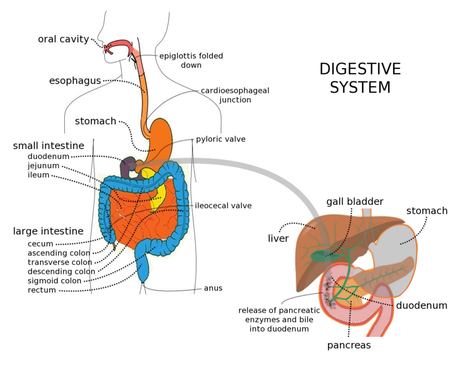 Complete Digestive Tract Diagram