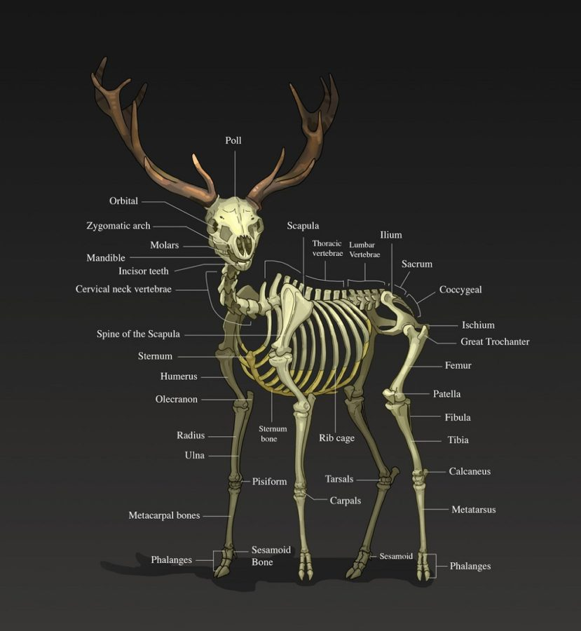 Deer Organs Diagram