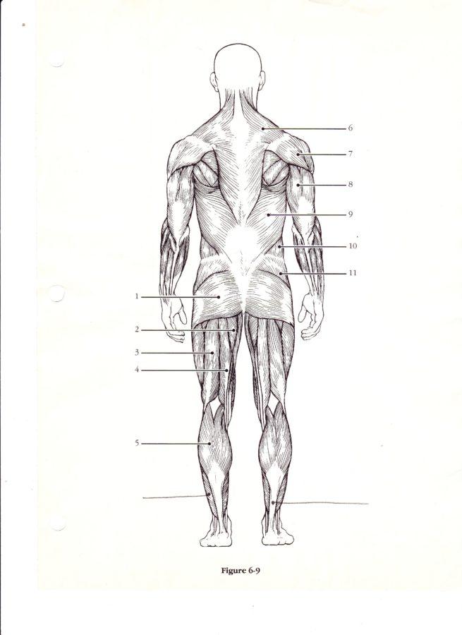 Diagram of Human Organs Posterior View