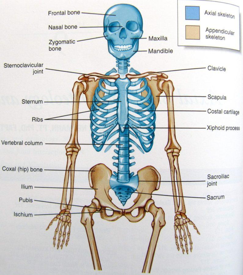Diagram of Human Organs Skeleton Anatomy