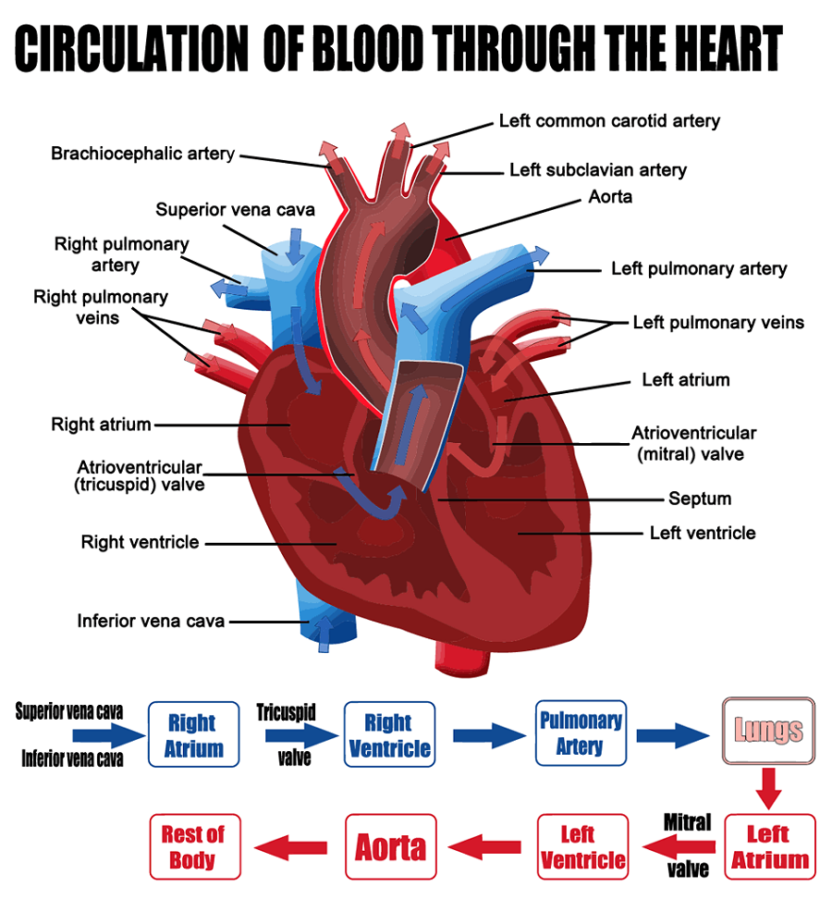 Diagram of a Heart Blood Flow