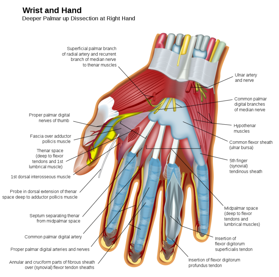 Finger Human Muscles Diagram