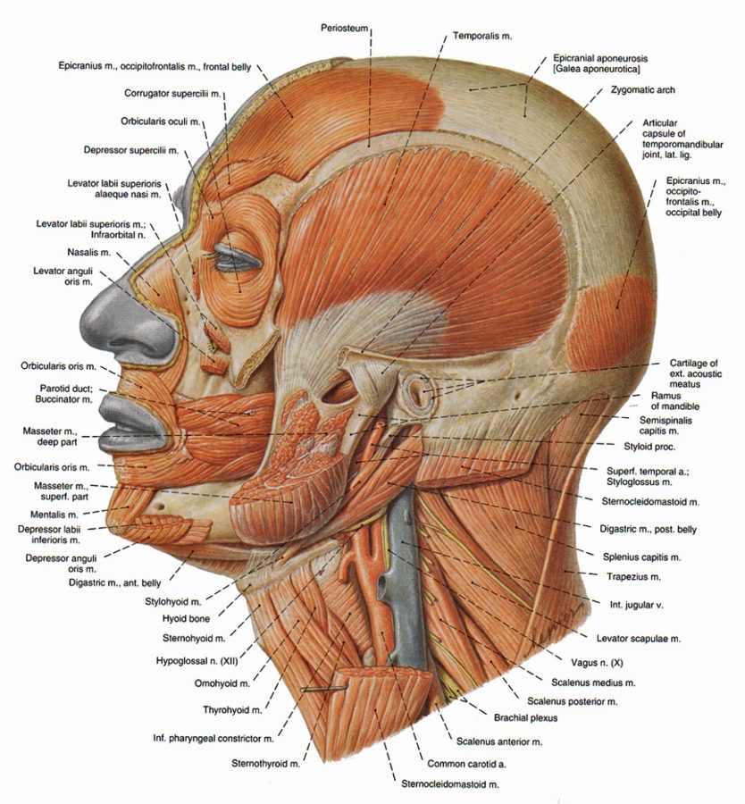 Head and Neck Human Muscles Diagram