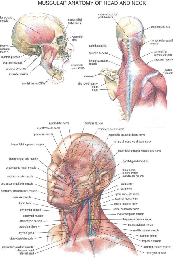 Muscular System Diagram Head